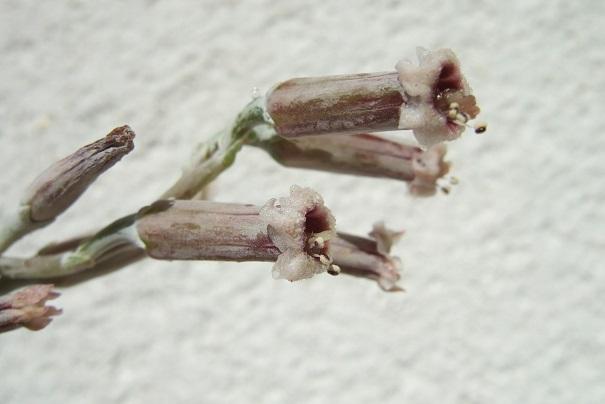 Adromischus - Adromischus trigynus Dscf1716