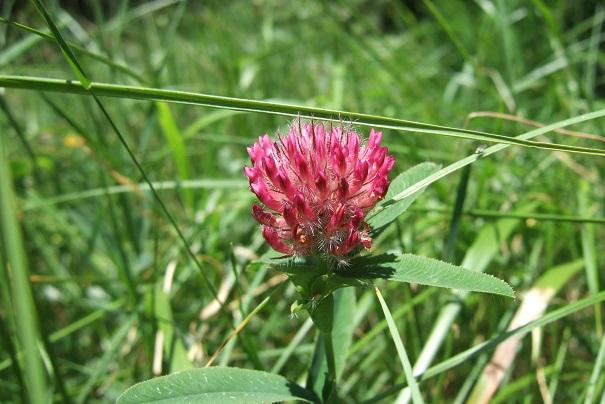 Trifolium rubens - trèfle rouge Dscf1730
