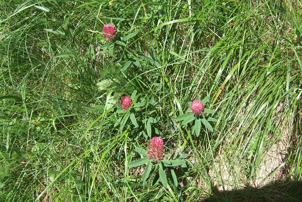 Trifolium rubens - trèfle rouge Dscf1810