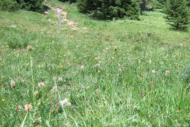 Trifolium montanum - trèfle de montagne Dscf1813
