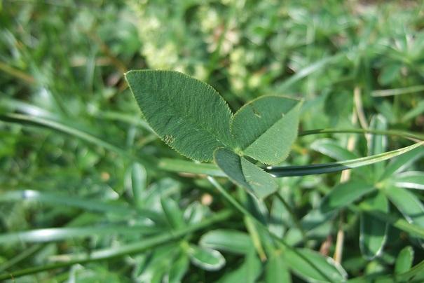 Trifolium montanum - trèfle de montagne Dscf1815