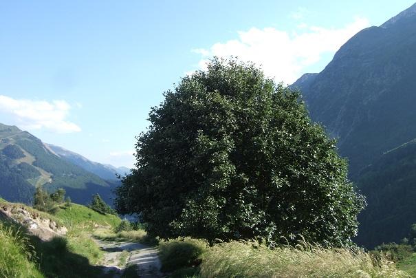 Sorbus aria - alisier blanc Dscf1820
