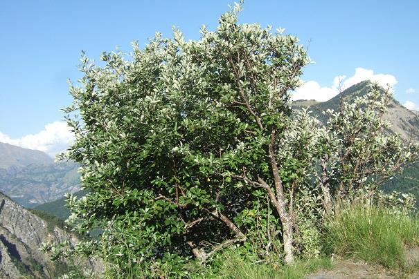 Sorbus aria - alisier blanc Dscf1821