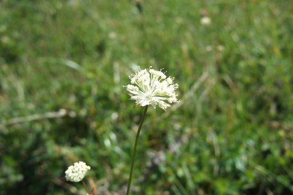 Astrantia minor - petite astrance Dscf1838