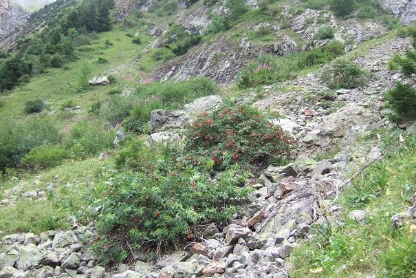 Sambucus racemosa - sureau rouge Dscf1910