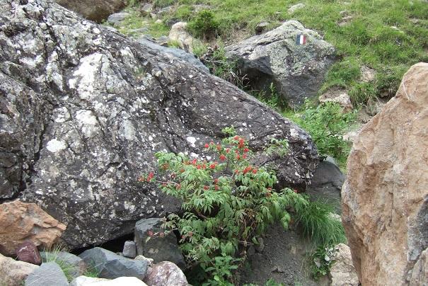 Sambucus racemosa - sureau rouge Dscf1912