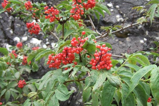Sambucus racemosa - sureau rouge Dscf1913