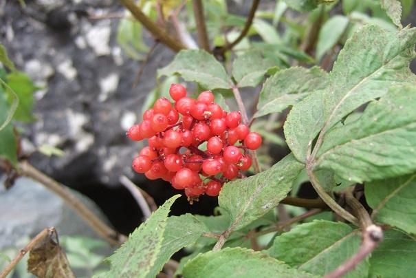 Sambucus racemosa - sureau rouge Dscf1914