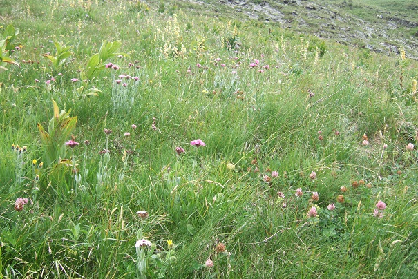 Silene flos-jovis (= Lychnis flos-jovis) - silène fleur de jupiter Dscf1916