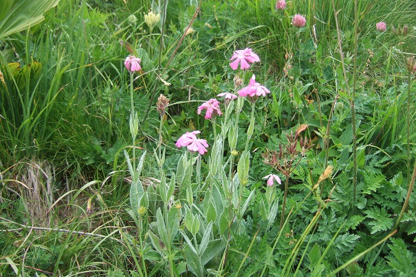 Silene flos-jovis (= Lychnis flos-jovis) - silène fleur de jupiter Dscf1917