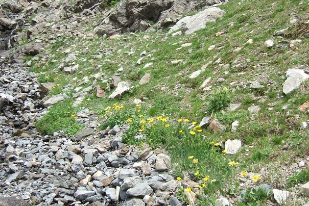 Arnica montana - arnica des montagnes Dscf1938