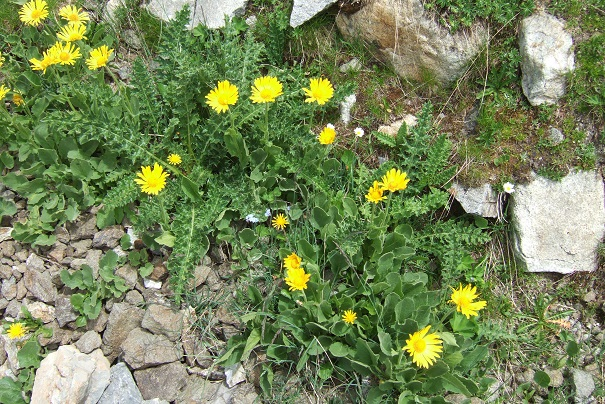 Arnica montana - arnica des montagnes Dscf1939