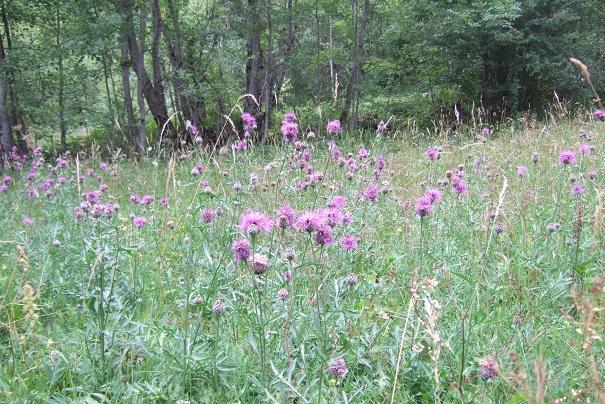 Centaurea scabiosa - centaurée scabieuse Dscf2010