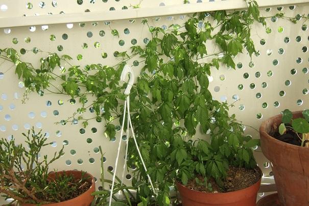 Gynostemma pentaphyllum - thé de l'immortalité Dscf2029