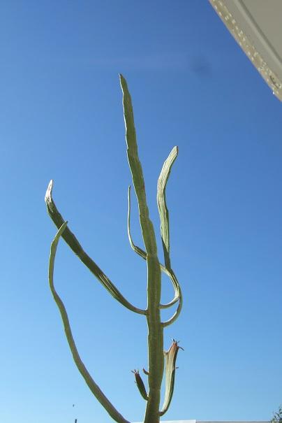 Euphorbia enterophora Dscf2033