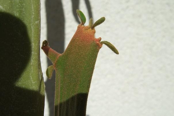 Euphorbia enterophora Dscf2034
