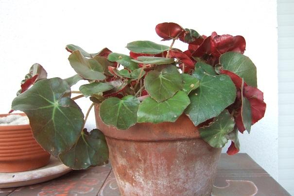 Begonia x erythrophylla Dscf2037