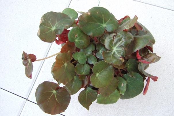 Begonia x erythrophylla Dscf2038