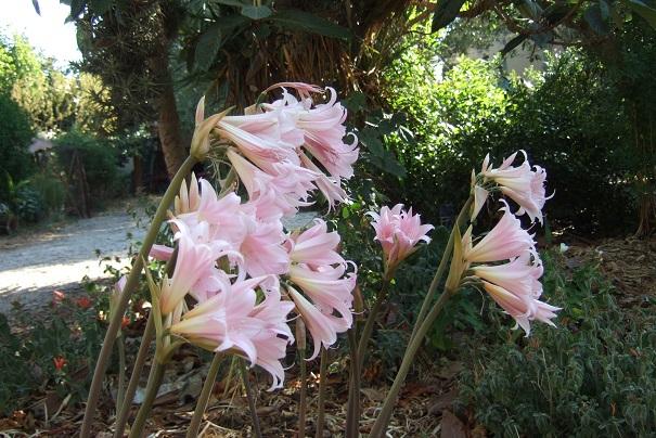 Amaryllis belladona - Page 3 Dscf2042