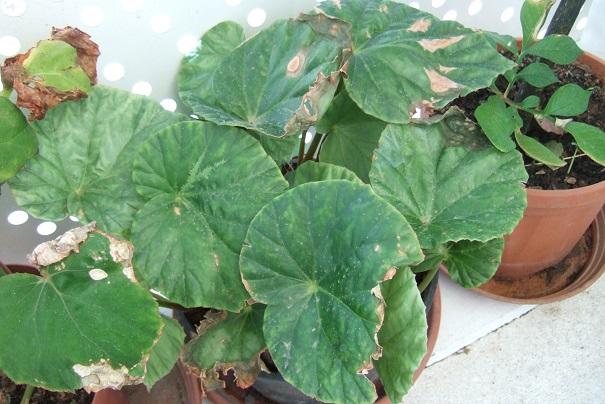 Begonia chitoensis Dscf2046
