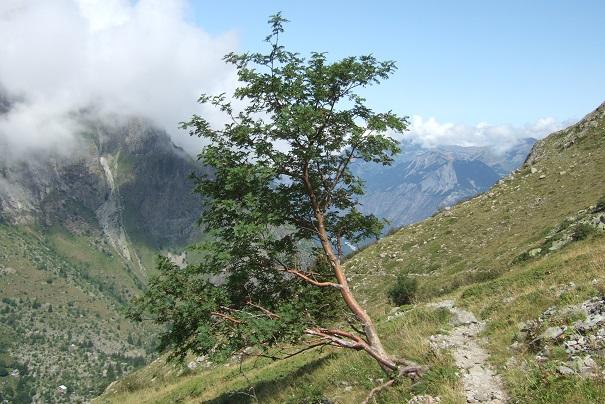 Sorbus aucuparia - sorbier des oiseleurs - cultivars et hybrides Dscf2110
