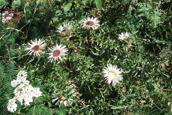 Carlina acaulis subsp. caulescens - carline acaule Dscf2114