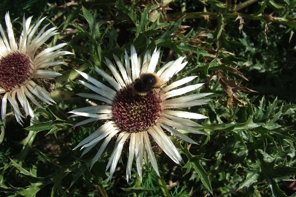 Carlina acaulis subsp. caulescens - carline acaule Dscf2115