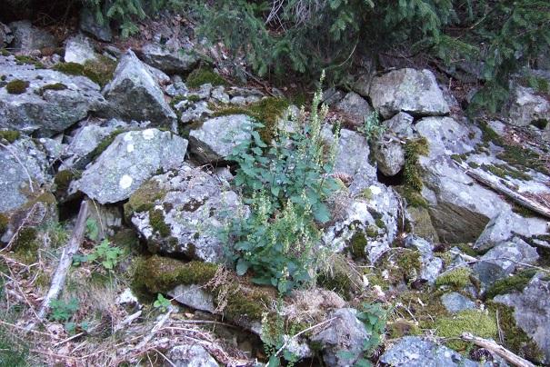 Teucrium scorodonia - germandrée scorodoine Dscf2213