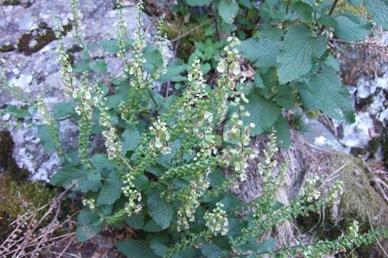 Teucrium scorodonia - germandrée scorodoine Dscf2214