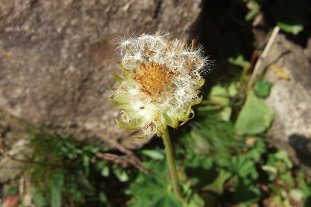 Arnica montana - arnica des montagnes Dscf2219
