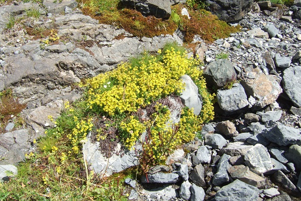 Saxifraga aizoides - saxifrage faux orpin Dscf2229