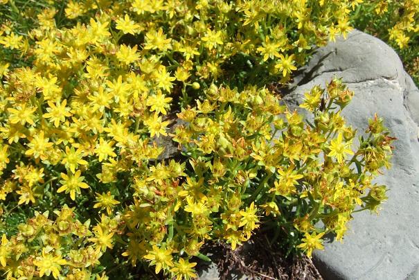 Saxifraga aizoides - saxifrage faux orpin Dscf2231