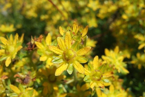 Saxifraga aizoides - saxifrage faux orpin Dscf2232