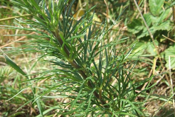 Aconitum anthora - aconit anthore Dscf2234