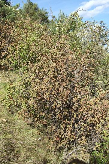 Viburnum lantana - viorne mancienne Dscf2312