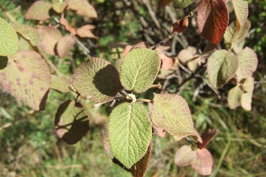 Viburnum lantana - viorne mancienne Dscf2313
