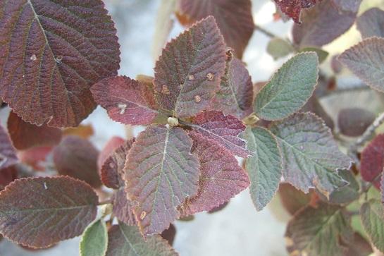 Viburnum lantana - viorne mancienne Dscf2314