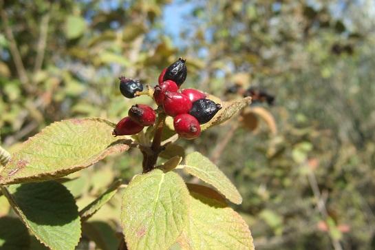 Viburnum lantana - viorne mancienne Dscf2315