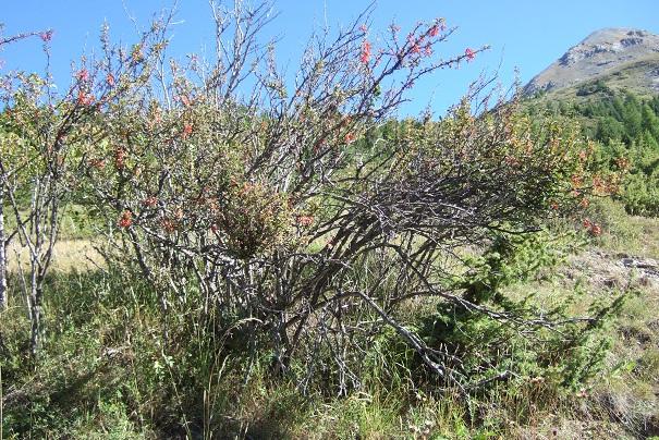Berberis vulgaris - épine-vinette Dscf2316
