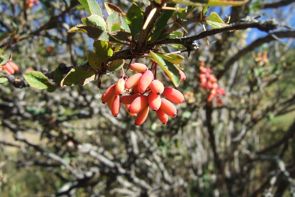 Berberis vulgaris - épine-vinette Dscf2317