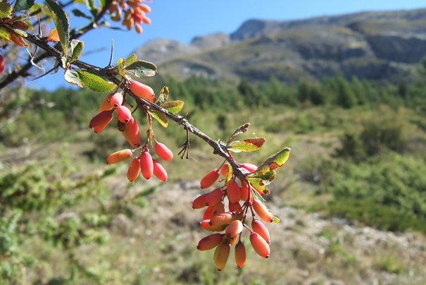 Berberis vulgaris - épine-vinette Dscf2318