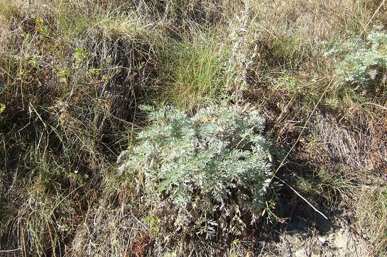 Artemisia absinthium Dscf2413