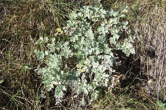 Artemisia absinthium Dscf2414