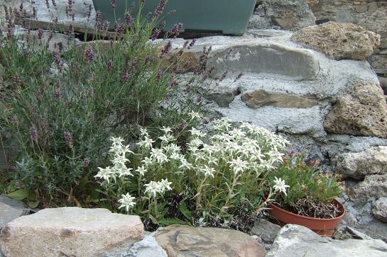 Leontopodium nivale subsp. alpinum - edelweiss  Dscf2417