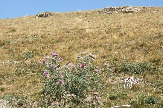 Cirsium eriophorum - cirse laineux Dscf2514