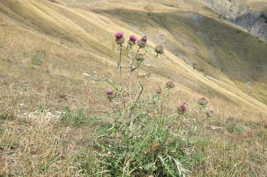 Cirsium eriophorum - cirse laineux Dscf2515