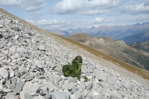 Urtica dioica L. - ortie dioïque, grande ortie Dscf2612