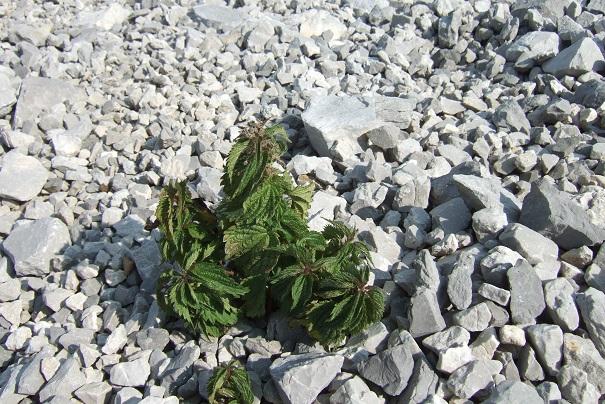 Urtica dioica L. - ortie dioïque, grande ortie Dscf2613