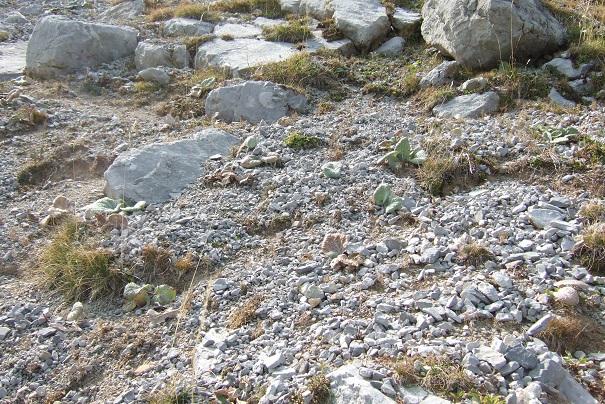 Berardia lanuginosa (= Berardia subacaulis) - bérardie Dscf2615