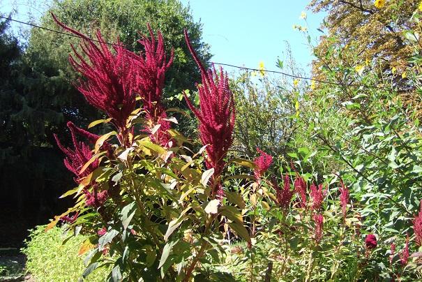 Amaranthus - les amarantes horticoles - Page 5 Dscf2620